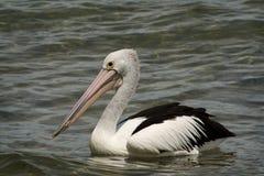 De Vogel van de pelikaan Royalty-vrije Stock Foto