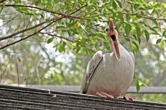 De vogel van de pelikaan Stock Foto