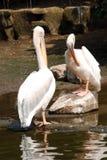 De vogel van de pelikaan op rots Stock Foto