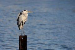 De Vogel van de reiger Royalty-vrije Stock Foto's
