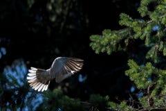 De vogel van de schildpadduif terwijl het vliegen van het nest van de pijnboomboom Stock Afbeelding