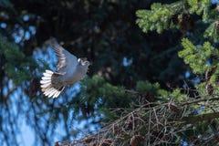 De vogel van de schildpadduif terwijl het vliegen van het nest van de pijnboomboom Royalty-vrije Stock Fotografie