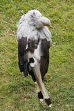 De vogel van de secretaresse Stock Afbeeldingen