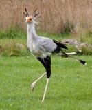 De Vogel van de secretaresse Stock Foto's