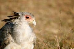 De vogel van de secretaresse Stock Foto