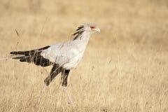 De vogel van de secretaresse Royalty-vrije Stock Fotografie