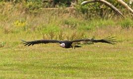 De Vogel van de secretaresse (serpentarius van de Boogschutter) Royalty-vrije Stock Foto