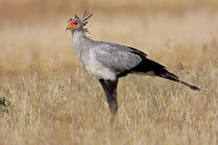 De vogel van de secretaresse, Zuid-Afrika Stock Afbeeldingen