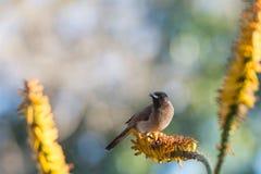 De Vogel van de stierenstier op Aloëbloem stock afbeeldingen