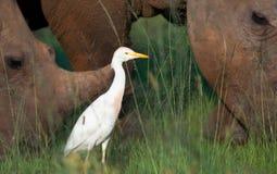 De vogel van de tik onder rinocerossen Stock Afbeeldingen