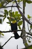 De vogel van de toekan in Columbiaanse Wildernis Royalty-vrije Stock Foto