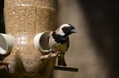 De vogel van de tuin het voeden Stock Afbeeldingen