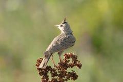 De Vogel van de veldleeuwerik Royalty-vrije Stock Afbeelding