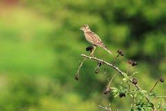 De Vogel van de veldleeuwerik Stock Foto