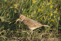 De Vogel van de veldleeuwerik Royalty-vrije Stock Foto