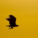 De vogel van de visarend tijdens de vlucht Stock Fotografie