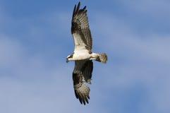 De vogel van de visarend tijdens de vlucht Royalty-vrije Stock Afbeelding