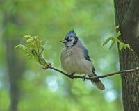 De Vogel van de Vlaamse gaai Stock Fotografie