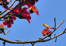 De vogel van de Wever van Baya Royalty-vrije Stock Afbeeldingen