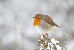 De vogel van de winterrobin royalty-vrije stock foto