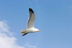 De vogel van de zeemeeuw tijdens de vlucht Royalty-vrije Stock Foto's