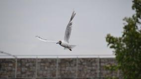 De vogel van de zeemeeuw tijdens de vlucht Stock Afbeelding