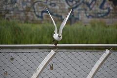 De vogel van de zeemeeuw tijdens de vlucht Stock Afbeeldingen