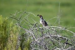 De vogel van Gambel` s Kwartels, Sweetwater-Moerasland in Tucson Arizona de V.S. stock afbeeldingen
