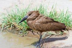De Vogel van Hamerkop Royalty-vrije Stock Afbeeldingen