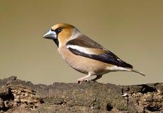 De vogel van Hawfinch Stock Afbeelding