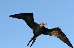De Vogel van het fregat Stock Foto