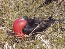 De Vogel van het fregat, de Galapagos Stock Afbeeldingen