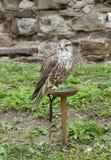 De vogel van Hongarije, adelaar Royalty-vrije Stock Afbeeldingen