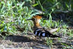 De Vogel van Hoopoe Stock Afbeeldingen