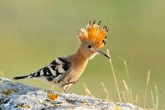 De vogel van Hoopoe (upupa epops) Royalty-vrije Stock Afbeeldingen