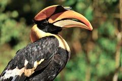 De vogel van Hornbill Stock Afbeelding