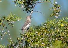 De vogel van de huisvink, Tucson Arizona royalty-vrije stock foto