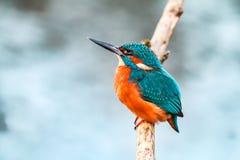 De vogel van de koningsvisser op een tak stock afbeelding