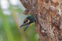 De vogel van koperslagerBarbet (Megalaima-haemacephala) Stock Afbeelding