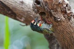 De vogel van koperslagerBarbet (Megalaima-haemacephala) Royalty-vrije Stock Afbeeldingen