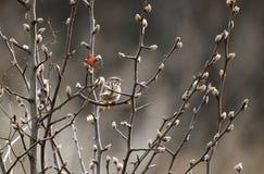 De vogel van de liedmus op ontluikende Bradford Pear-boom, Georgië, de V.S. stock afbeelding