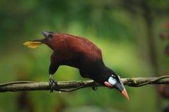 De vogel van Montezumaoropendola Stock Foto