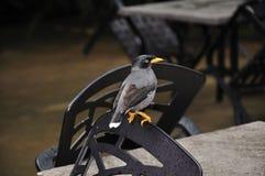 De vogel van Mynah Stock Foto