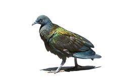 De vogel van Nicobarpigoen, beuatiful groene en donkerblauwe vogel op I Royalty-vrije Stock Fotografie