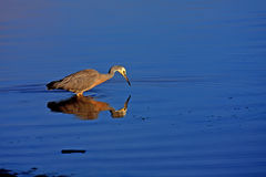De vogel van Nieuw Zeeland Royalty-vrije Stock Foto