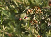 De Vogel van Peekabooknysna Turaco Royalty-vrije Stock Foto's
