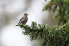 De vogel van pijnboomsiskin Stock Afbeeldingen