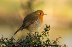 De vogel van Robin op de struik Royalty-vrije Stock Foto's