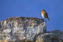 De vogel van Robin op een rots Royalty-vrije Stock Foto