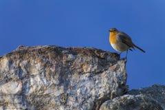 De vogel van Robin op een rots Stock Fotografie